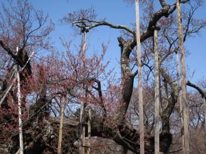 3.20神代桜