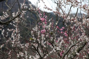 幕山公園2011.3.3