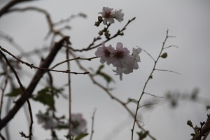 不断桜2013.10